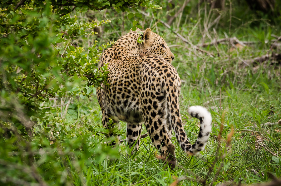 Avvistamenti al Kruger